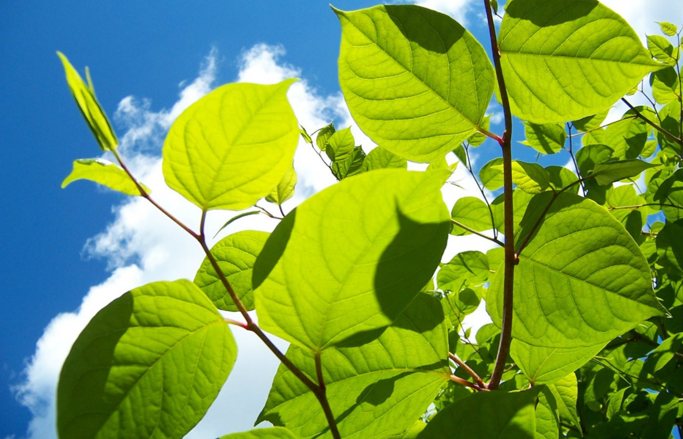 Google gardener knotweed