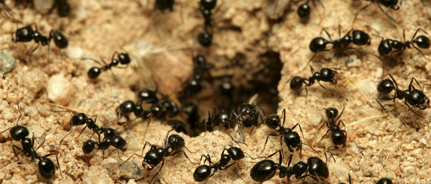 How to get rid of ants in the garden removing your ants ccuart Gallery